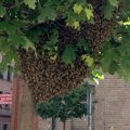 Pszczoly  w centrum Katowic