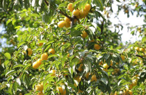 Czy można jeść owoce z drzew w centrum miasta? I skąd w ogóle się tam wzięły