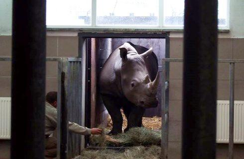 Nowy nosorożec w chorzowskim ZOO