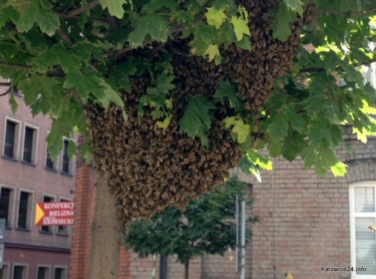 Rój pszczół w centrum Katowic [WIDEO]