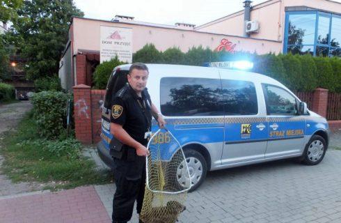 Straż miejska złapała młodego dzika na południu Katowic